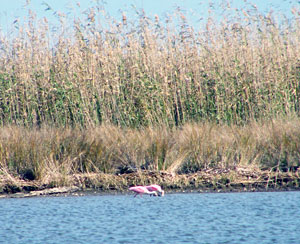 No shortage of amazing wildlife on the huge Louisiana Delta like this pair of beautiful roseate spoonbills feeding nearby