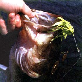 Chartreuse spinnerbait caught largemouth bass
